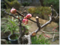 春のつぼみ - CISCO-NooDLE