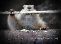 プレーリードッグ:Black-tailed Prairie Dog - 動物園の住人たち写真展