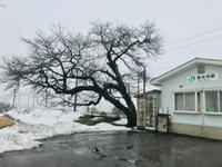 東光寺駅の桜2019 - 流れる雲のように