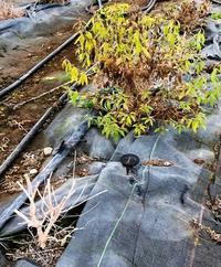 冬のレモンバーベナの状態 - 農場長のぼやき日記