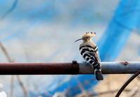 ヤツガシラその2(鉄パイプの上で) - 私の鳥撮り散歩
