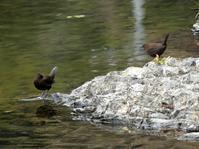カワガラスのつがい・・・高尾 - 浅川野鳥散歩