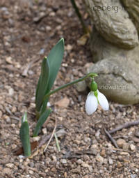 スノードロップとクリスナスローズ - 小さな庭 2