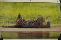 ジャガーの1,2月 - 絵を描きながら