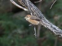 北本自然観察公園にいたモズ - コーヒー党の野鳥と自然 パート2
