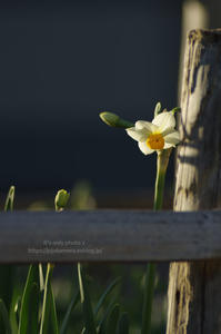 Narcissus*Ⅲ - It's only photo 2