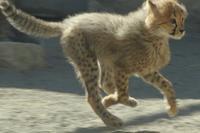 ネコ好きにはたまりません。疾走するチーターの五つ子たち - 旅プラスの日記