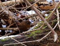 ミソッチ、動きが早い・・・ - 一期一会の野鳥たち