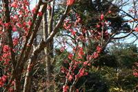 小石川後楽園の梅の花 - お散歩写真     O-edo line