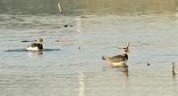 タゲリの水浴び - barbersanの野鳥観察