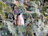 siriaru 下界は強風ここは最高の環境、こんな中での鳥撮り良いです、何種類かの鳥たちが撮れます。誠 - 皇 昇