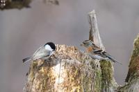 アトリの憂鬱 - 野鳥公園