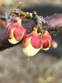 梅の蕾が綻びました。 - piecing・針仕事と庭仕事の日々