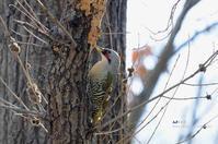 アオゲラ(緑啄木鳥) - azure 自然散策 ~自然・季節・野鳥~
