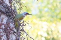 アオゲラ - 上州自然散策2