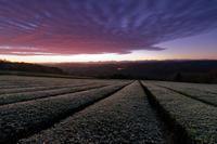 霜の茶畑~未明に染まる - katsuのヘタッピ風景