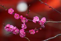 荏柄天神社の梅 - エーデルワイスPhoto