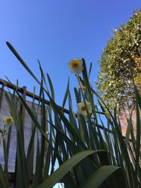 家の花:水仙 - (鳥撮)ハタ坊:PENTAX k-3、k-5で撮った写真を載せていきますので、ヨロシクですm(_ _)m