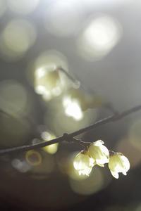 今日の百草園ロウバイ向島百花園と百草園の共通ワードは「百」「江戸」「梅」ですな - みるはな写真くらぶ