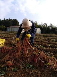 安穏芋/紅遥の芋掘り収穫のち大学芋〜県境・農業ボランティア〜 - 日々ニコニコ
