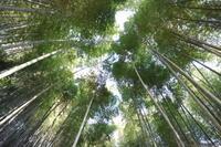 高台の梅 - 木洩れ日 青葉 photo散歩