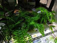 植物「ネフロレピシスたちのその後」 - 孤影悄然
