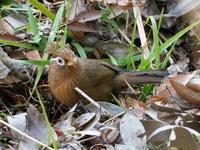 北本自然観察公園でもガビチョウ - コーヒー党の野鳥と自然 パート2