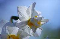 Narcissus*Ⅳ - It's only photo 2