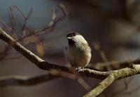 『ベレー帽のコガラ』 - ヤソッチひだまり写真館