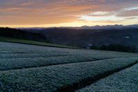 霜の茶畑~金色の夜明け - katsuのヘタッピ風景