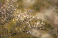 神代植物公園の梅開花〜前編 - 柳に雪折れなし!Ⅱ