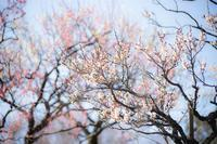 神代植物公園の梅開花〜後編 - 柳に雪折れなし!Ⅱ