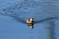 カイツブリ鏡のような水面 - 気まぐれ野鳥写真