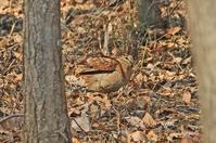 ヤマシギ - barbersanの野鳥観察