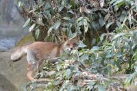 キツネとタヌキ - 動物園へ行こう
