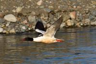 カワアイサ - ごっちの鳥日記