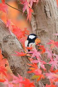 秋の写真ですが・・・紅葉とシジュウカラ - 平凡な日々の中で