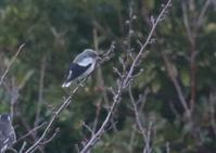 カラムクドリ - 写真で綴る野鳥ごよみ
