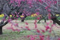 梅の網敷天満宮 - 国安じいさんのたわごと