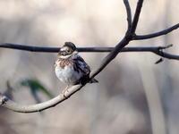 北本自然観察公園にいたカシラダカ - コーヒー党の野鳥と自然 パート2