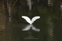 ピアノ池の鳥たち -シンメトリー- - It's only photo 2