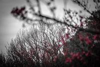冬が終わる日の紅梅 - Soul Eyes