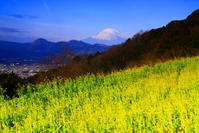 31年1月の富士(29)篠窪の菜の花と富士 - 富士への散歩道 ~撮影記~