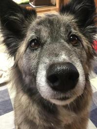 立春 - 琉球犬mix白トゥラーのピカ
