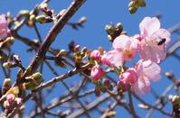 河津桜咲き始めたよ~ - ほのぼのはうす
