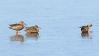 ハシビロガモ氷の上で水溜りが - 気まぐれ野鳥写真