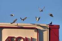 鳩の群れが一斉に・・・ - 『私のデジタル写真眼』