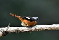 春ですねジョウビタキくん - 鳥と共に日々是好日