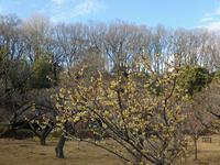 薬師池公園の梅が咲き始めていました。 - ご無沙汰写真館