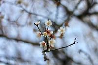 梅の花 - Take your time